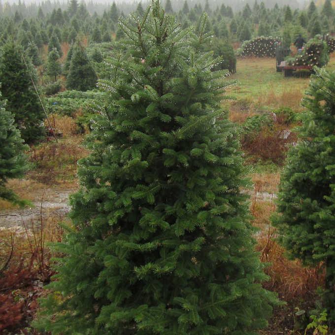 Evergreen Christmas.Nova Scotia Natural Christmas Tree