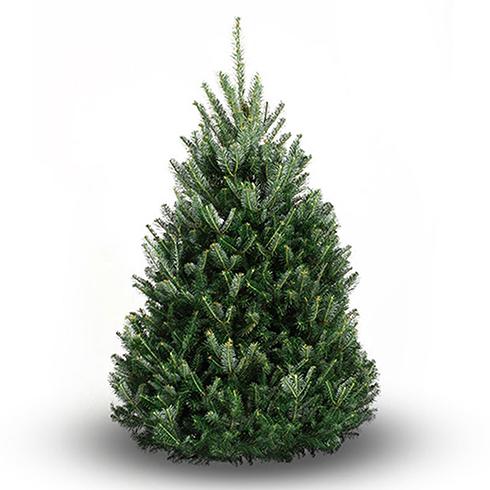Evergreen Christmas.Balsam Fir Christmas Tree